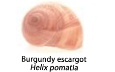 The shell of the Burgundy escargot