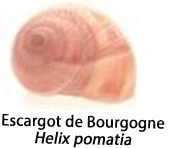 Une image d'un escargot de Bourgogne